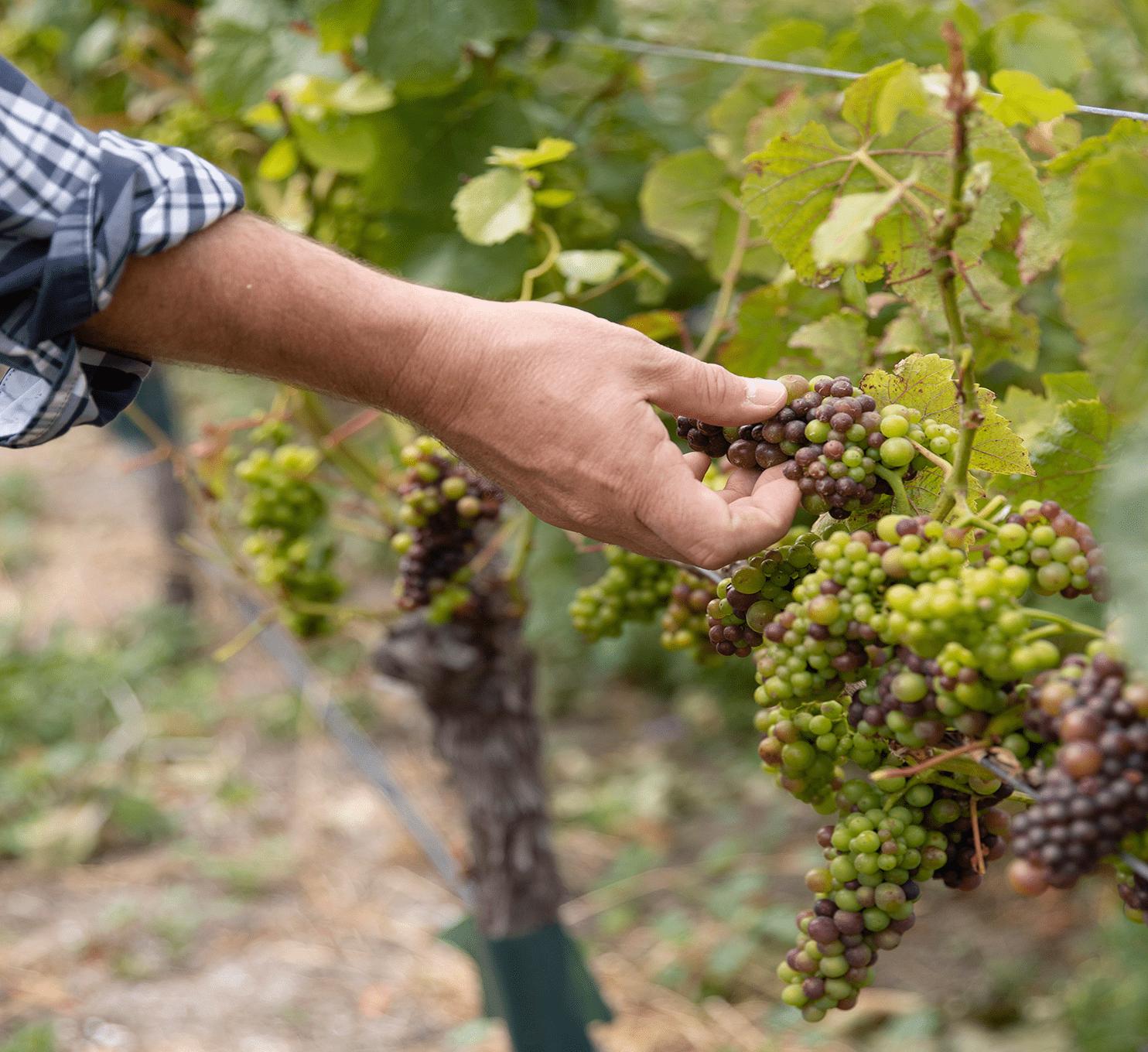 Vineyard 1484x1360